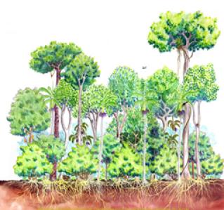 Resultado de imagem para estratos florestais